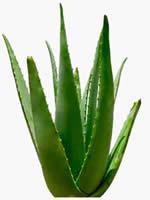 Propiedades del Aloe Vera II