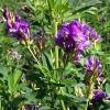 alfalfa-propiedades