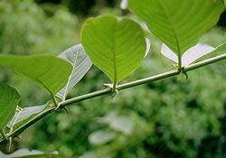 planta uña de gato